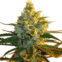 Super Lemon Haze  Feminized Seeds