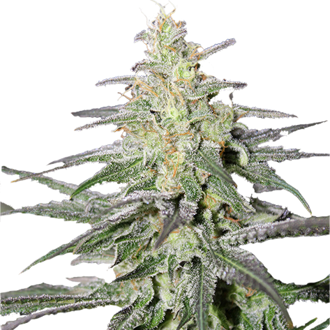 Super Silver Haze Feminized Seeds