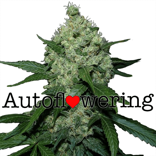 super auto flowering seeds