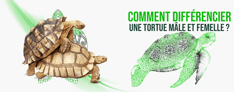 Différence sexe tortue male et femelle