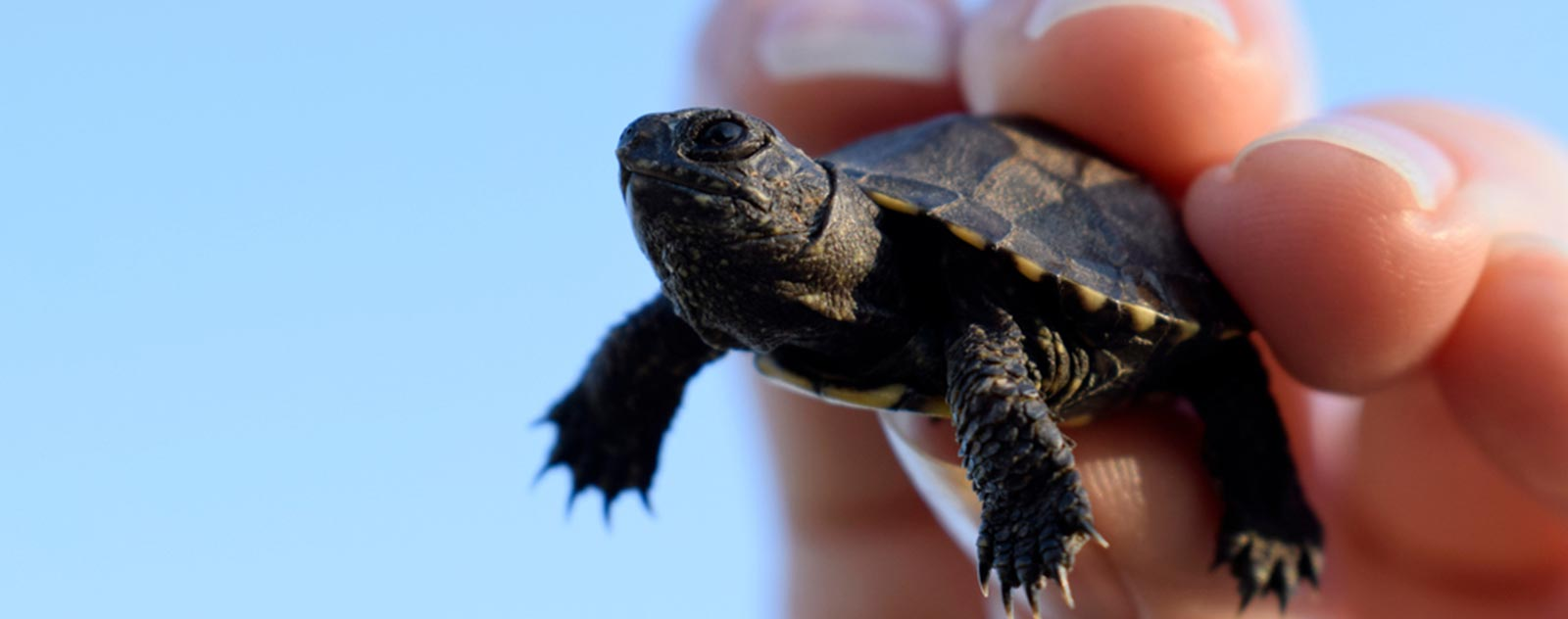 tortue-d-eau-carence-alimentaire