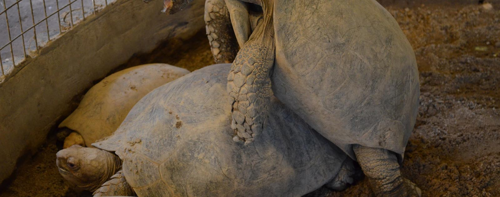 tortue-reproduction