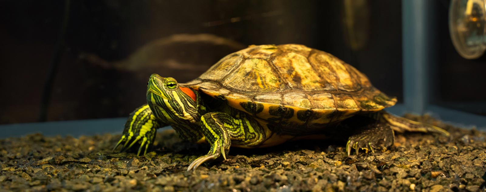 lampes-chauffantes-tortue