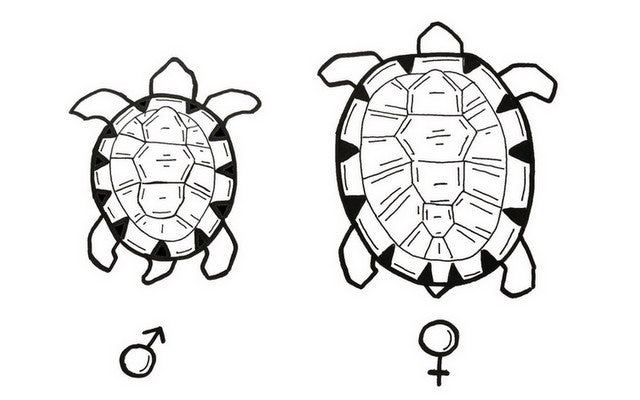 difference carapace tortue male et femelle