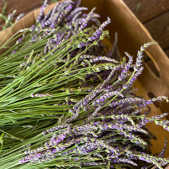 Small Freshly Cut Lavender Bunches