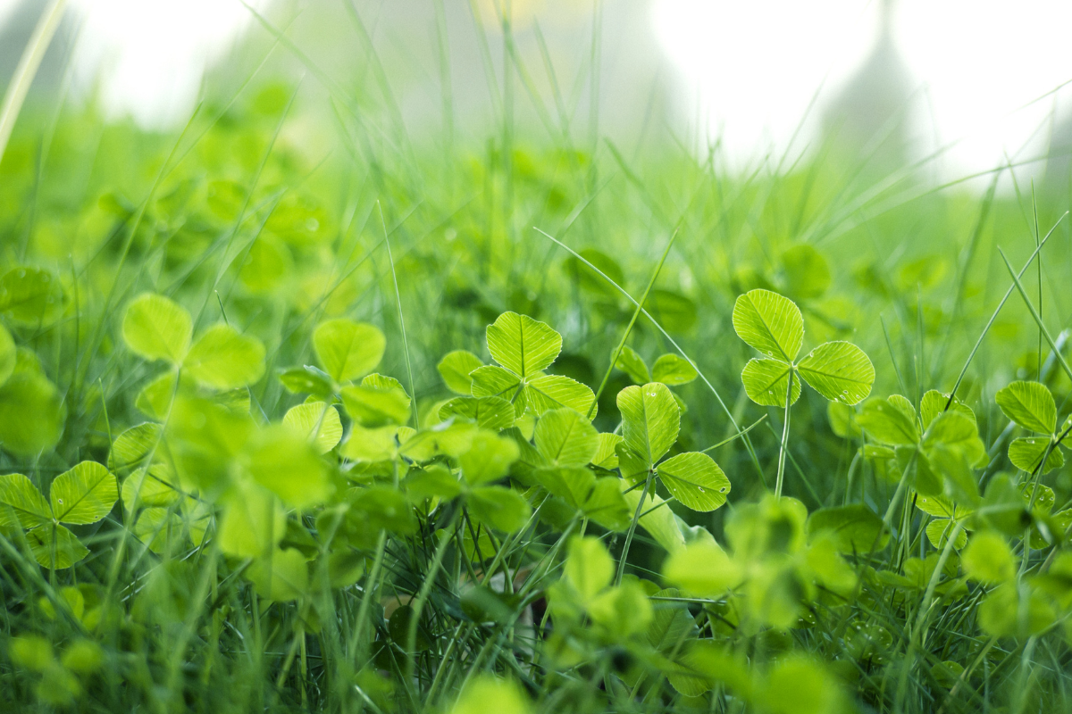 why clover is good for your lawn