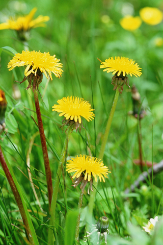 pull weeds for spring lawn care