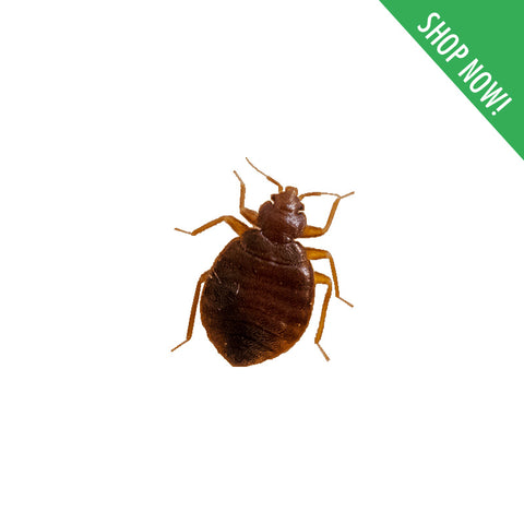 Bedbugs / Mites Control