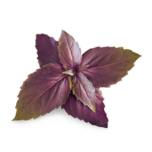 Purple Basil Lingot®