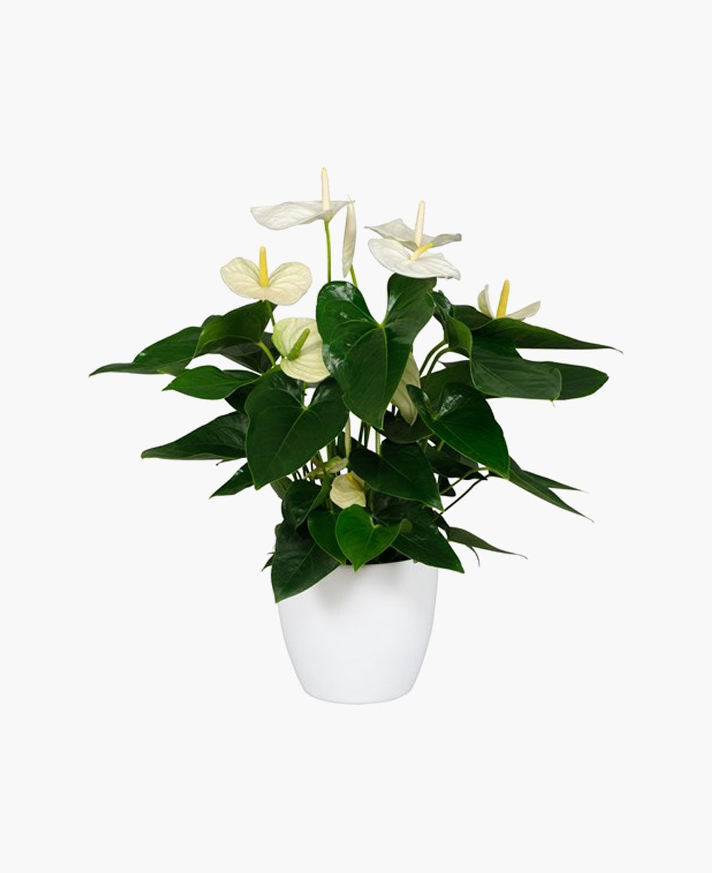 Anthurium pot