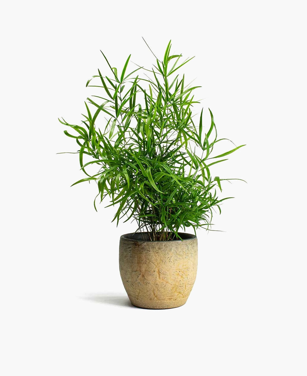 Areca Palm Boosted Sale