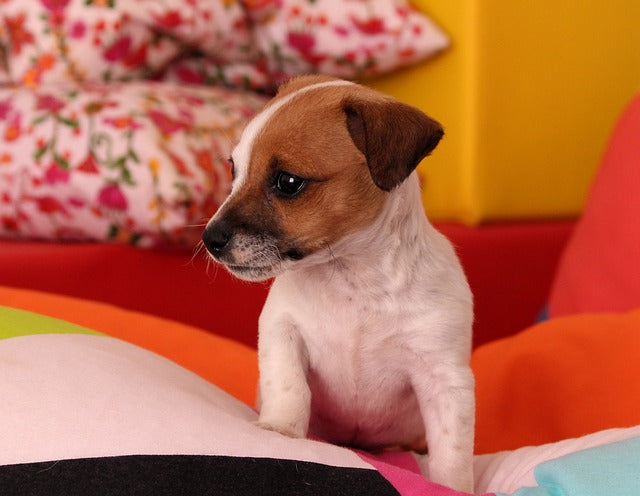 7 Facts You Need To Know About Jack Russell Terriers