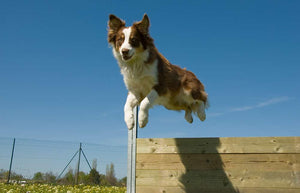 The Characteristics Of Herding Dogs