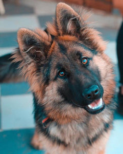 10 Amazing Facts About German Shepherds