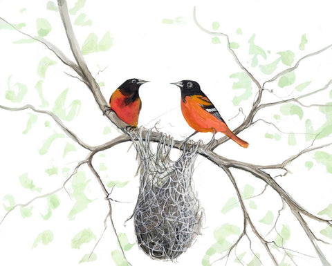 Oriole birds and their nest