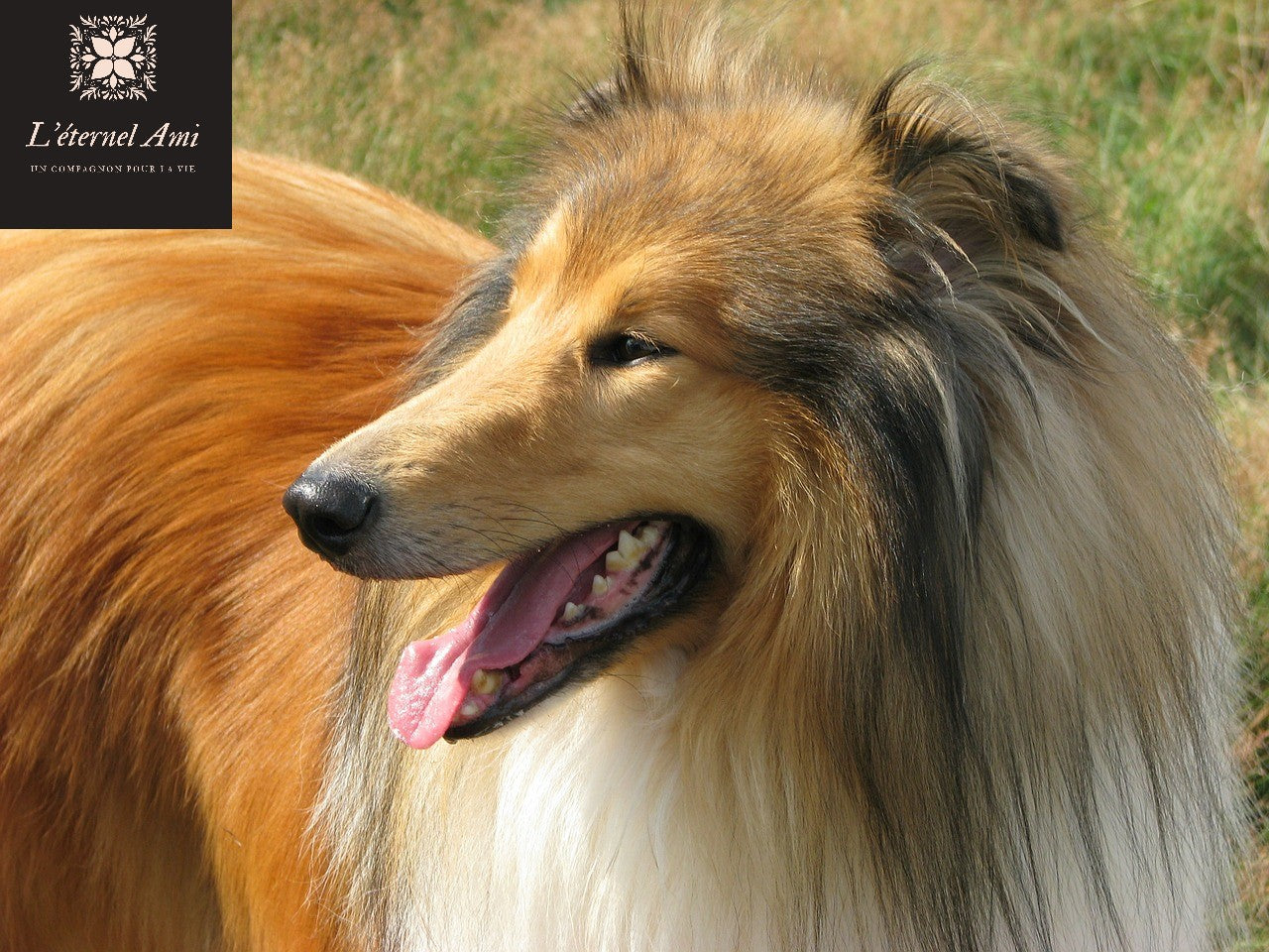 Lassie Border Collie chien star mort