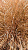 Carex Flagellifera – Carex Flagellifera