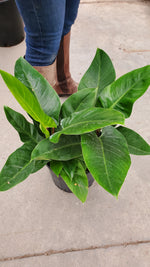Philodendron Imperial Green 10""
