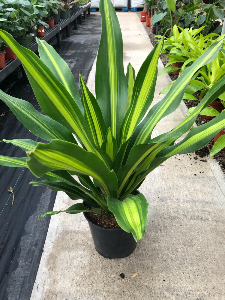 Load image into Gallery viewer, Dracena Giganta 8""
