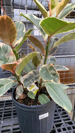 Ficus Rubber Plant Tineke 10""
