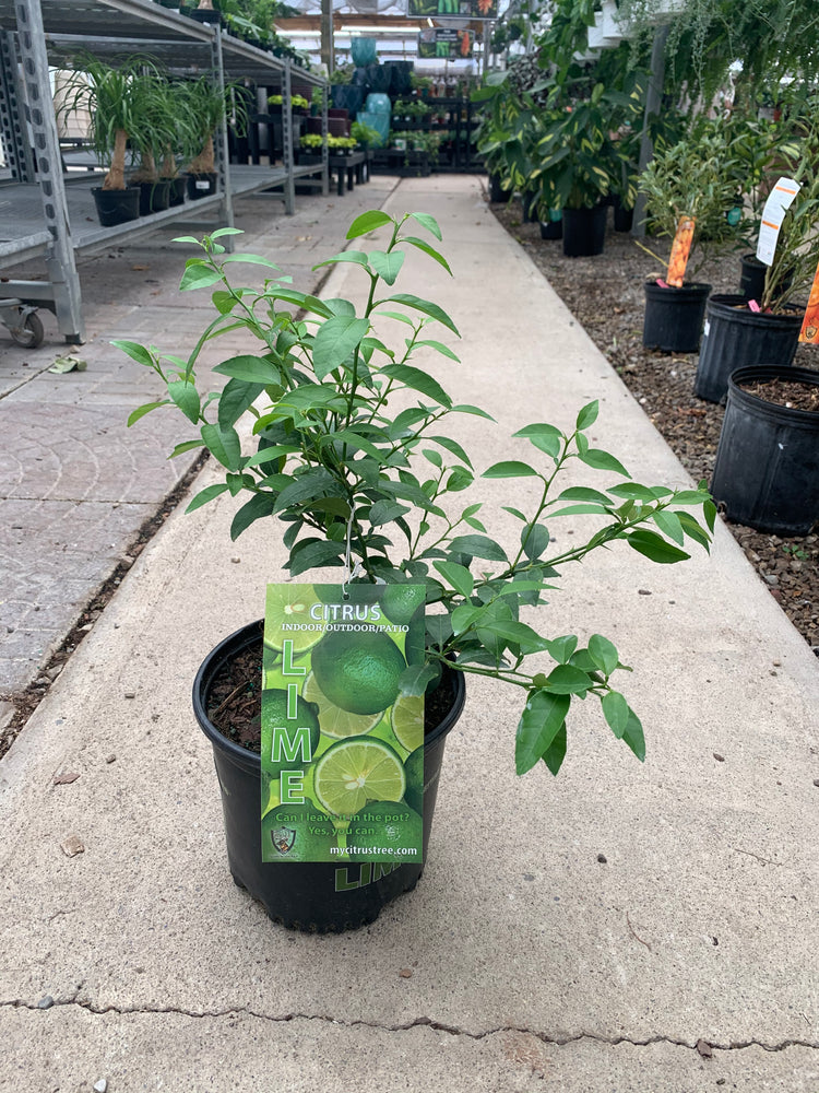 Key Lime Bush 7""