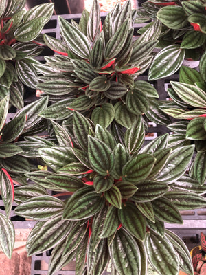 Load image into Gallery viewer, Peperomia Rosso 3.5""