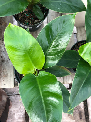 Philodendron Imperial Green 6""