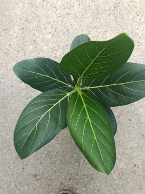Load image into Gallery viewer, Ficus Benghalensis Audrey 5""