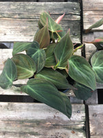 Philodendron Micans 4""
