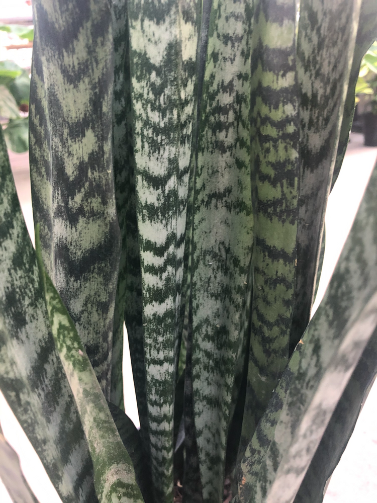 Load image into Gallery viewer, Sansevieria Wintergreen 10""