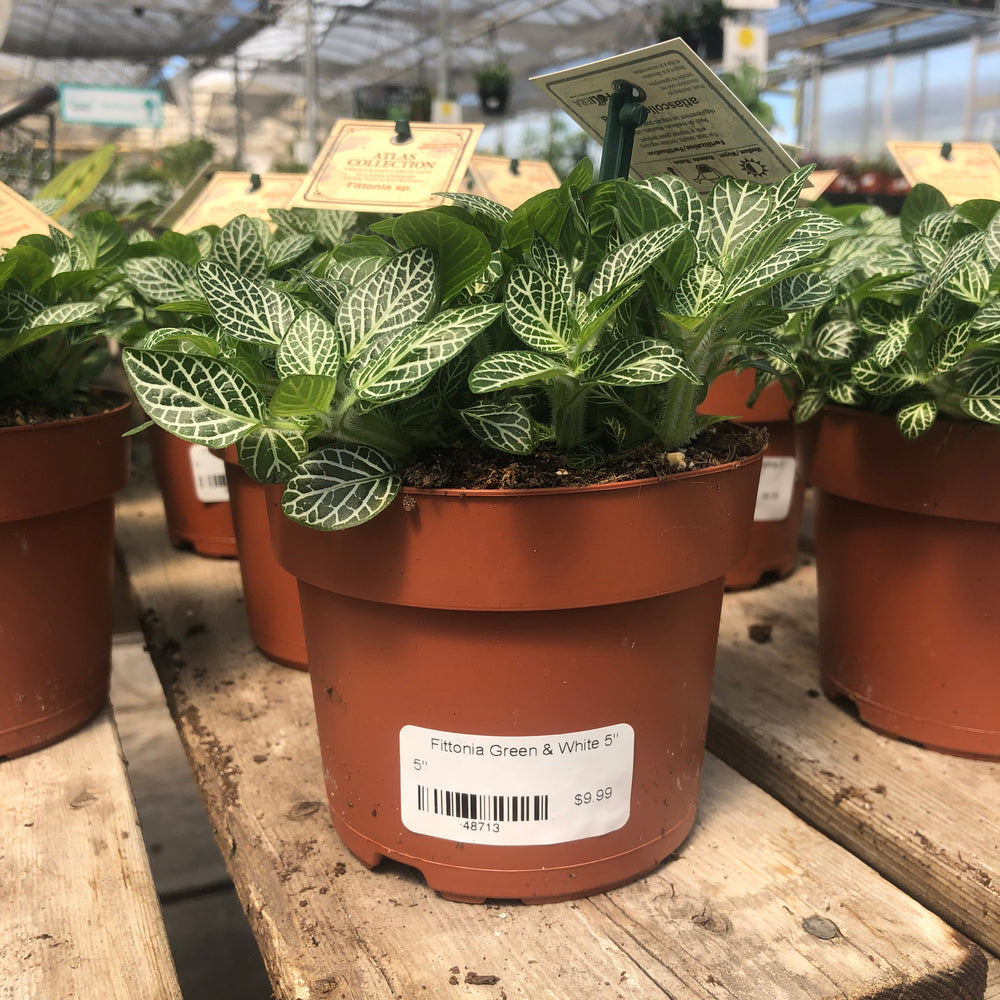 fittonia green and white