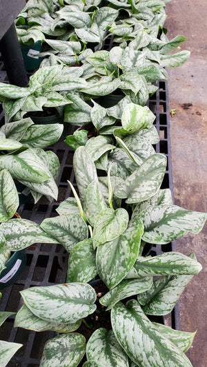 Load image into Gallery viewer, Pothos Silver Satin Exotica 6""