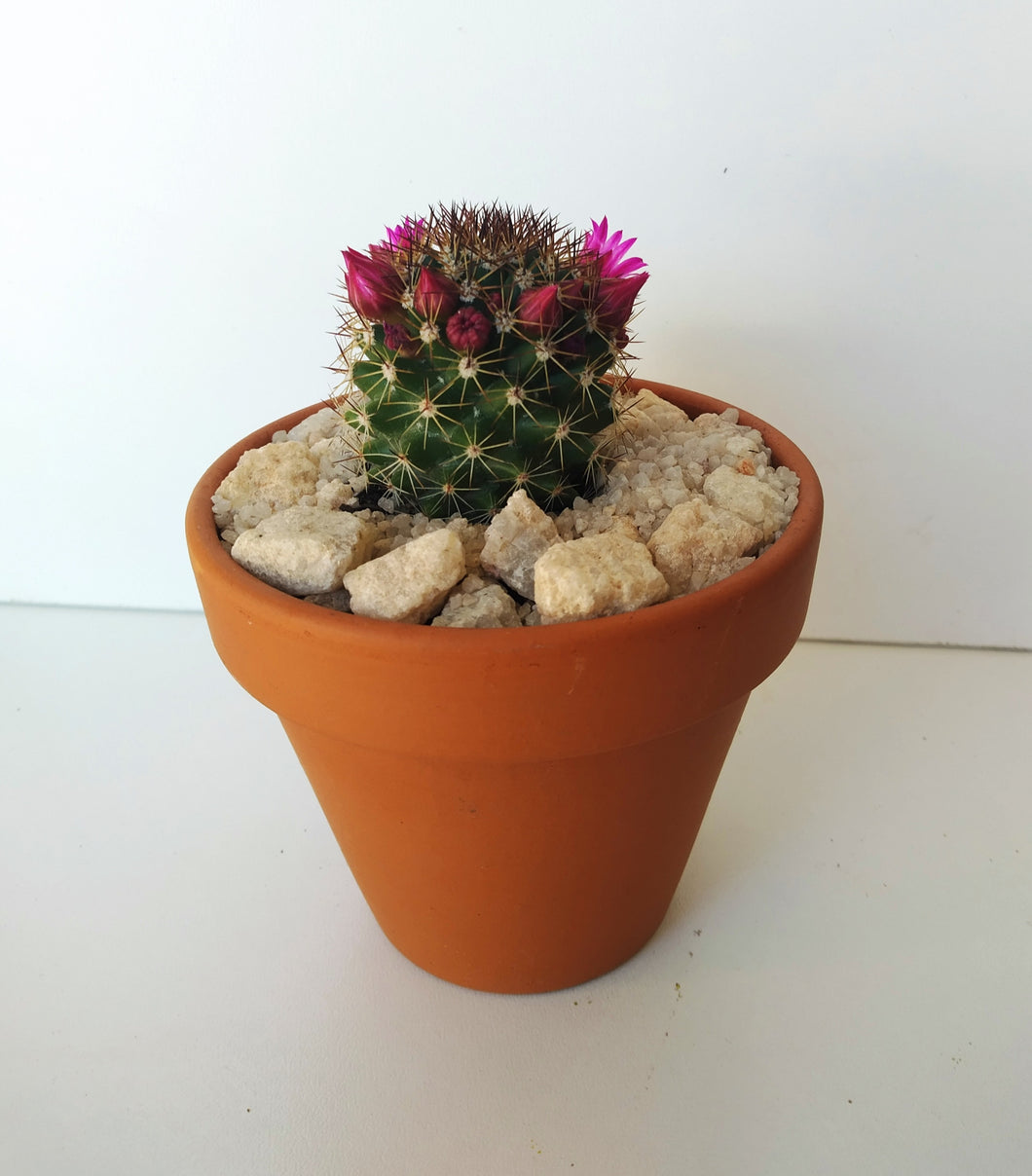 Cactus Gift in 8cm terracotta pot