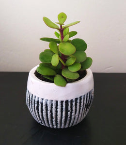 Stripe Pattern Concrete Pot with Spekboom