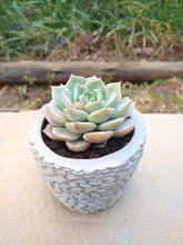 Load image into Gallery viewer, Succulent in stone concrete planter