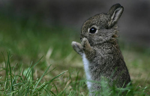 TT Young Cottontail