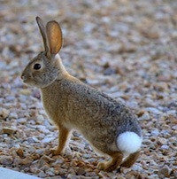 TT Cottontail Cocaine