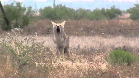 TT Growling Coyotes