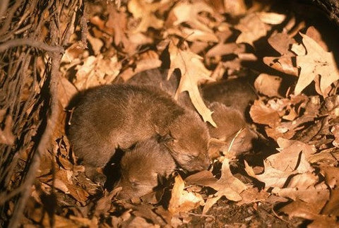 TT Coyote Pup Screams
