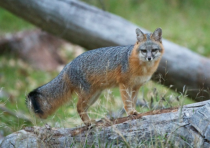 TT Grey Fox Growl