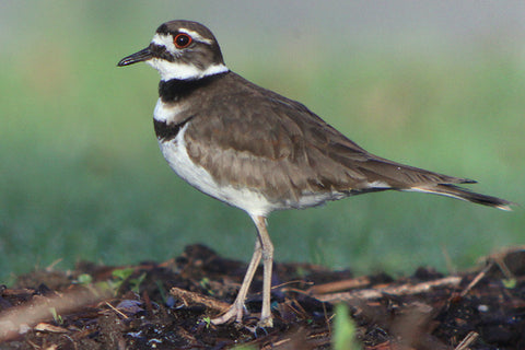 TT Killdeer Cries