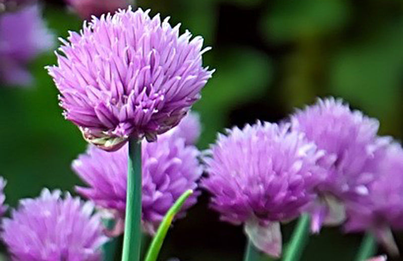 Grow at Home how to grow chives the best way