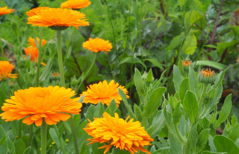 Marigolds great for companion planting - learn how to do companion planting