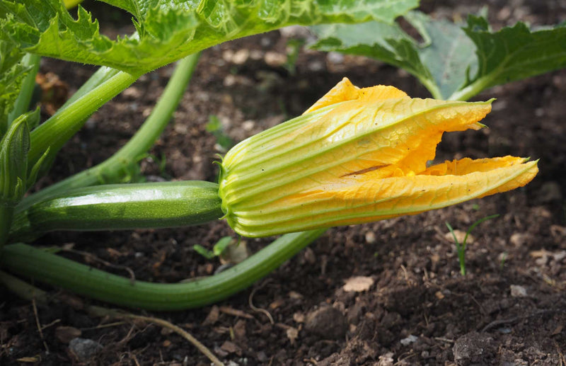How to grow Courgettes squash & gourds