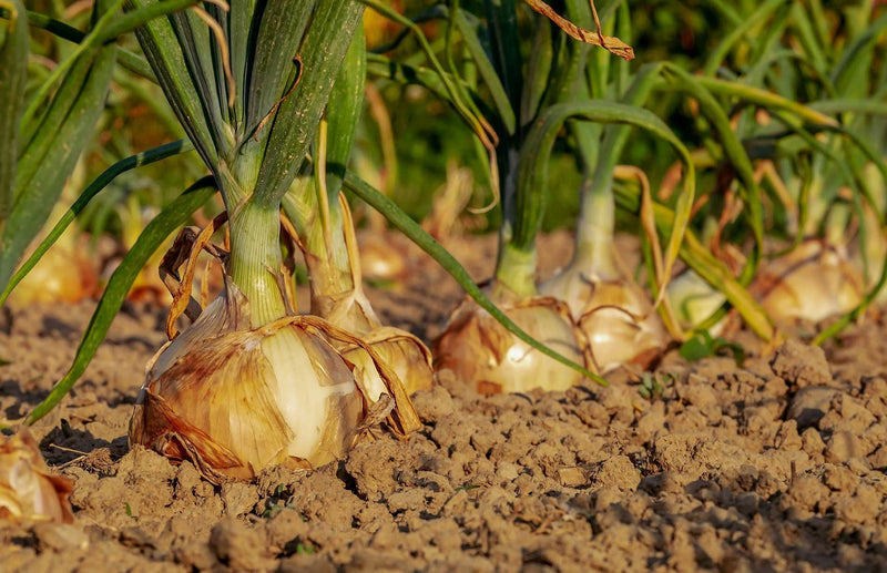 Haxnicks gardening advice how to grow onions from sets the best way