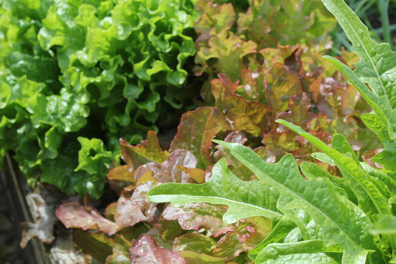 Haxnicks Gardening advice how to grow salad leaves the best way