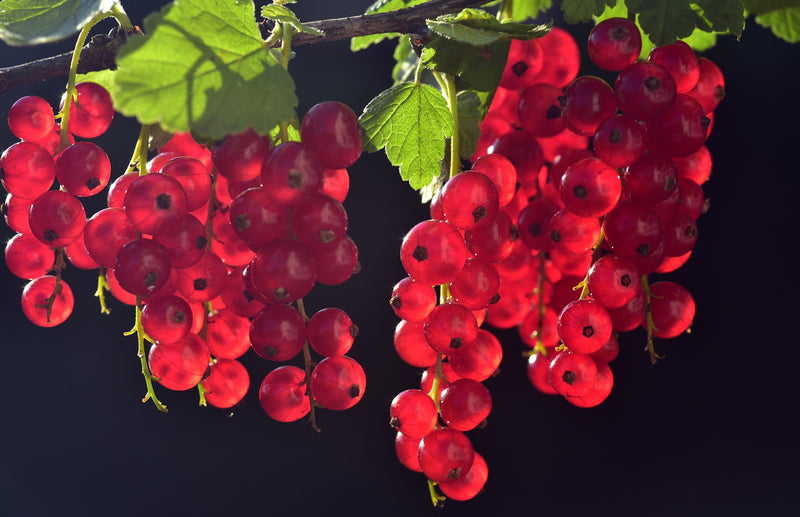 haxnicks- how to grow soft fruits currants- currant growing guide- growing berries- red currants - how to grow currants easily