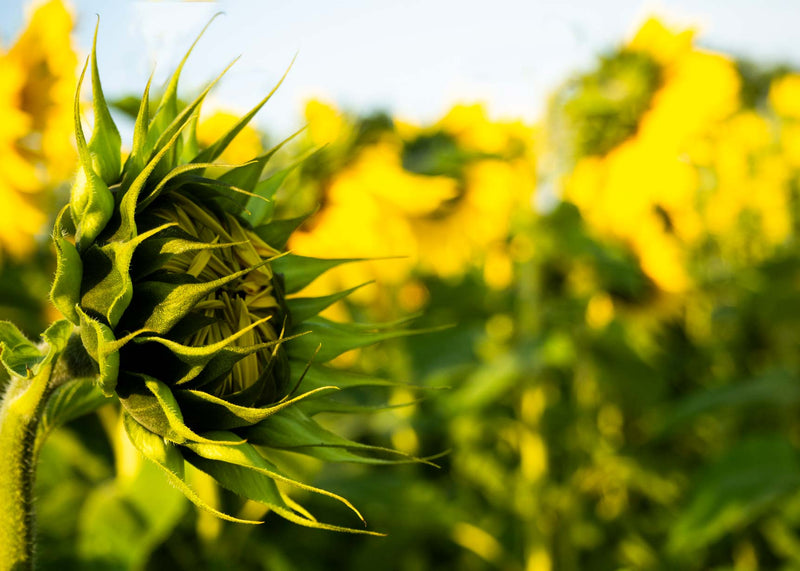 field of sunflowers - how to grow the tallest sunflowers