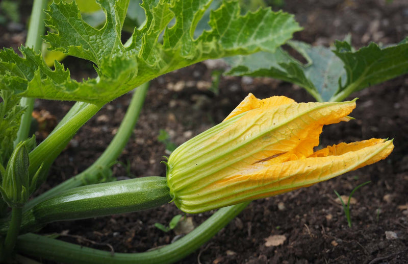 How to grow zucchini courgettes in planters and containers