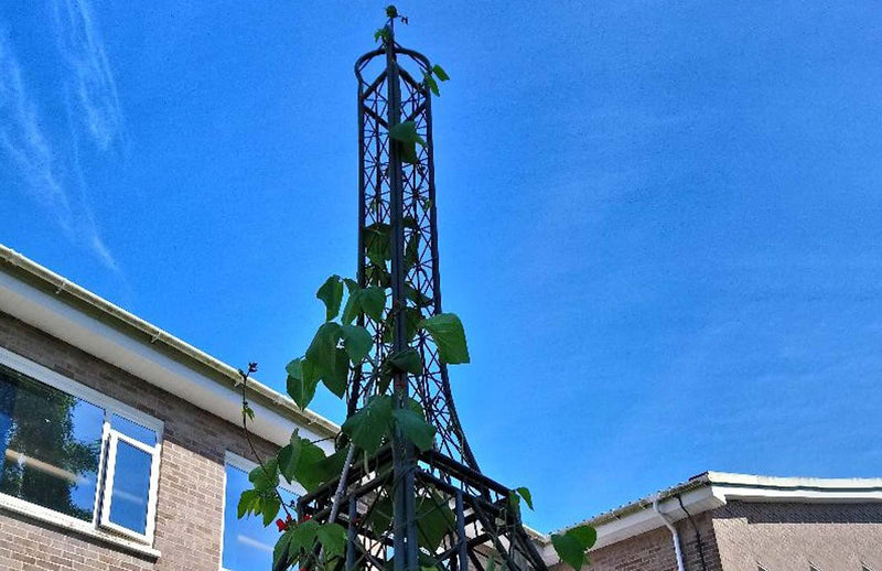 Haxnicks Eiffel Tower ornamental growing frame with beans in School grounds